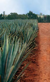 agave-left1